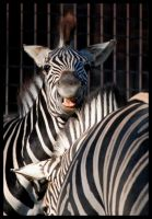 crazy punk zebra by morho