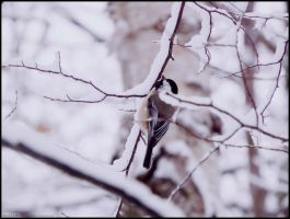 Winter Chickadee. by Sparkle-Photography