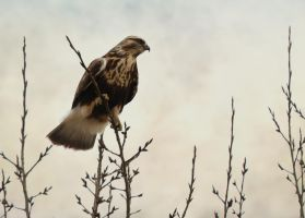 Rough Legged Hawk by domitaliajinx
