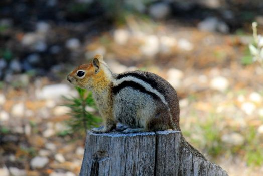 Mr. Chipmunk by thekittygoesMEEP