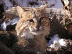 Bobcat by beside-you-in-time