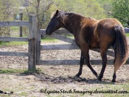 Kentucky Mountain Horse 1 by EquineStockImagery