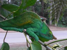 Madagascan Chameleon by GreenDragon42