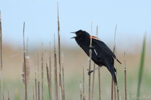 Red-winged Blackbird (male) by GuillaumGibault