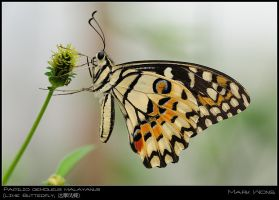 BSP Butterflies 060708 I by log1t3ch