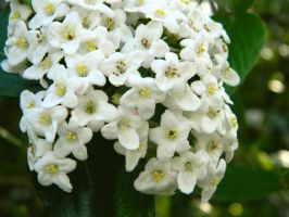 White Flowers by MunsenTheBiscuit69