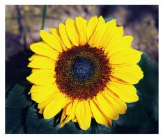 Girasole by Nataly1st