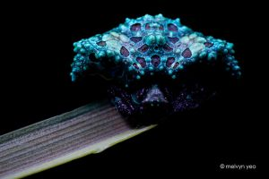UV Bird Dung Spider (Pasilobus sp.) by melvynyeo