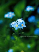 forget-me-not by impatienss