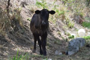 Veal of Martinique Island by A1Z2E3R