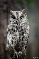 Scops owl by Yair-Leibovich