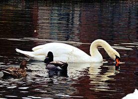 Swan and Ducks by TemariAtaje