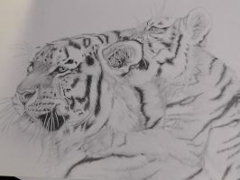 Tigers by Matilzie