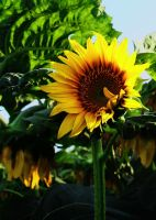 Sunflower Field by Joe-Lynn-Design