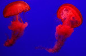 Red jellyfish by Wan-Mei