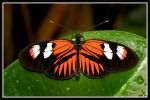 Black and Red butterfly by jimbomp44