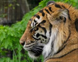 Sumatran Tiger 845 by caybeach