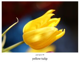 yellow tulip by Spree5326