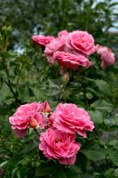 Bunch of Pink Roses by Elle-Arden