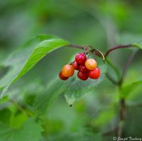 Red Berries by JosephTimbury