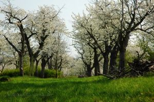 Cherry trees by grugster