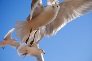 Seagull by erin72