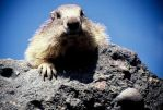 A marmot named Gregorio by edelweiss26