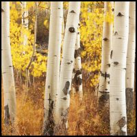 Aspen Number 228 by kimjew