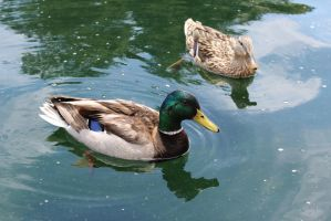 Pair of Mallards by AtomicBrownie