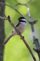 Chickadee by PhotoTAKER1497
