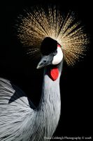 Crowned Crane by La-Vita-a-Bella
