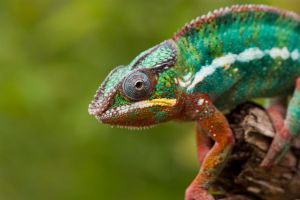 Chameleon on the prowl by AngiWallace