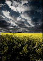 Oilseed Rape by Crossie