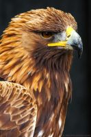 Golden Eagle by runique