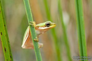 Green Tree Frog by juddpatterson