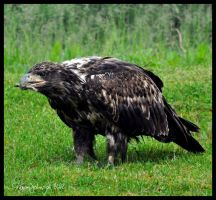 Another Juvie Bald Eagle by AlaskaGrl