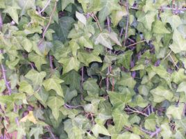 English Ivy vines by celticpath