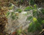 Dew on the webs ---deviation 1 by knighttemplar1