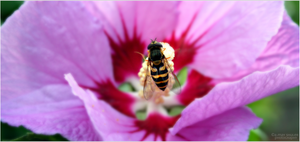 'A Bees Life IV' by AMayShulerphotogrphy