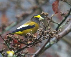 Evening Grosbeak  - Photo Bombed by swashbuckler