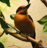 Micronesian Kingfisher by meihua