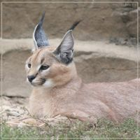 Caracal 4 by Globaludodesign