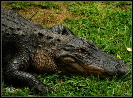 Gator by Alabamaphoto