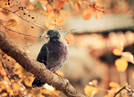 Autumnal pigeon by Thunderi