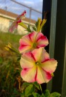 Pink and yellow striped petunias by EruwaedhielElleth