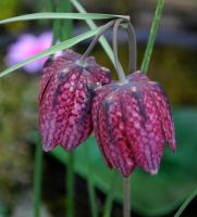 April Fritillary by Forestina-Fotos