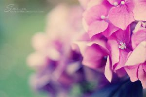 hortensia by sunflies