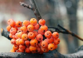 rowanberry by grezelle