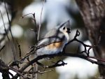 Tufted Titmouse by Sparkle-Photography