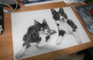 Collies by Golphee